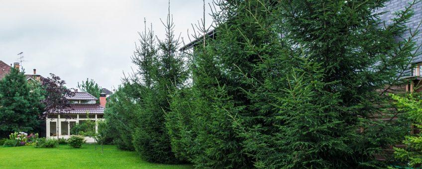 озеленение участка: газон, посадка деревьев