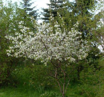 Вишня Тургеневка крупномер