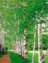 дерево березы крупномер