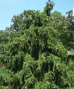 Ель акрокона дерево крупномер