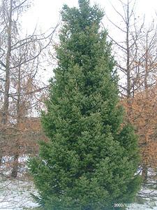 дерево ель сербская крупномер