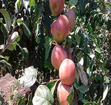 Яблоня крупномер Боровинка