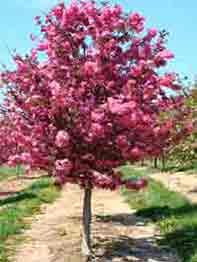 jablonja-dekorativnaja-