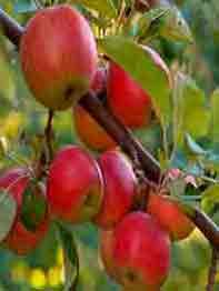 jablonja-mantet