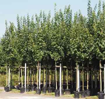 дерево клена