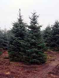 дерево пихта конколор крупномер