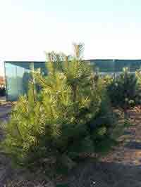 сосна черная дерево крупномер