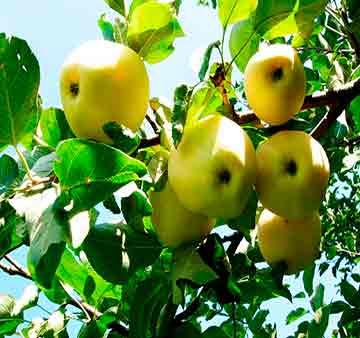 Яблоня крупномер Белый налив