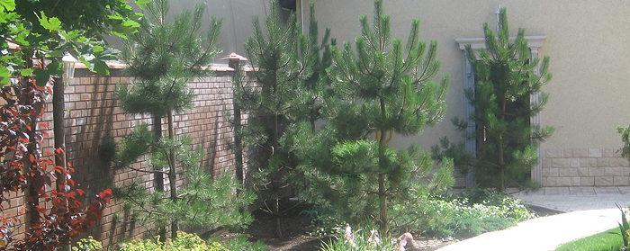 озеленение участка: высадка деревьев
