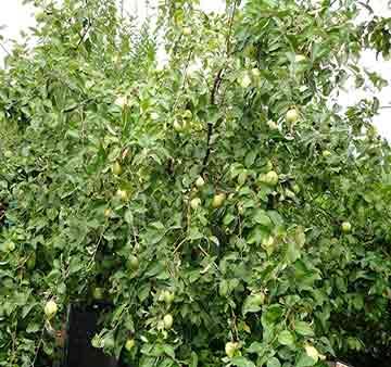 Яблоня крупномер Богатырь