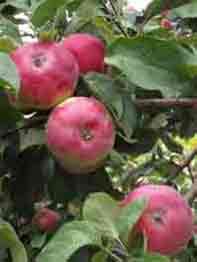 jablonja-borovinka