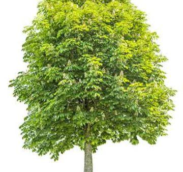 дерево каштана крупномера