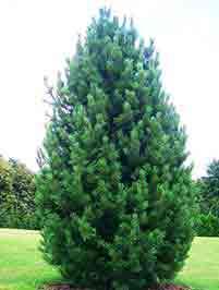 дерево кедр сибирский крупномер
