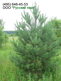 дерево сосна обыкновенная крупномер
