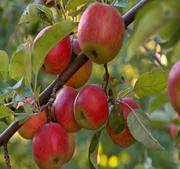 Яблоня крупномер Мантет