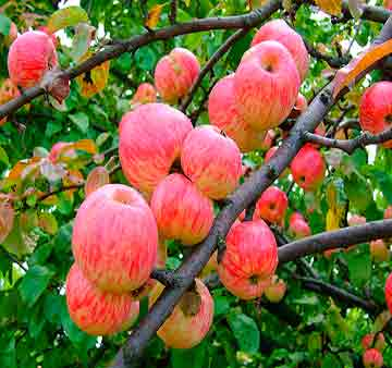 Яблоня крупномер Мельба