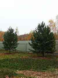 крупномер сосна обыкновенная дерево