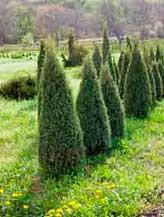 дерево туи крупномер