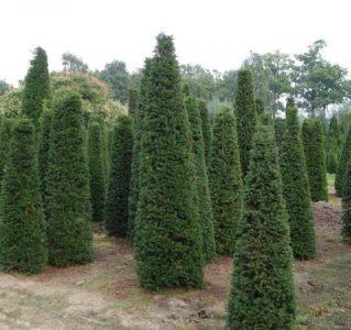 Туя деревья крупномеры в питомнике