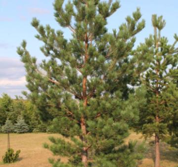 Сосна обыкновенная 3-5 метров